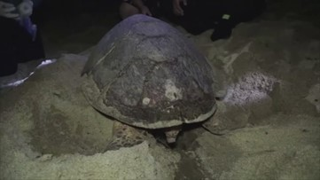 Must-See! Critically Endangered Hawksbill Turtle Lays 80 Eggs on the Beach