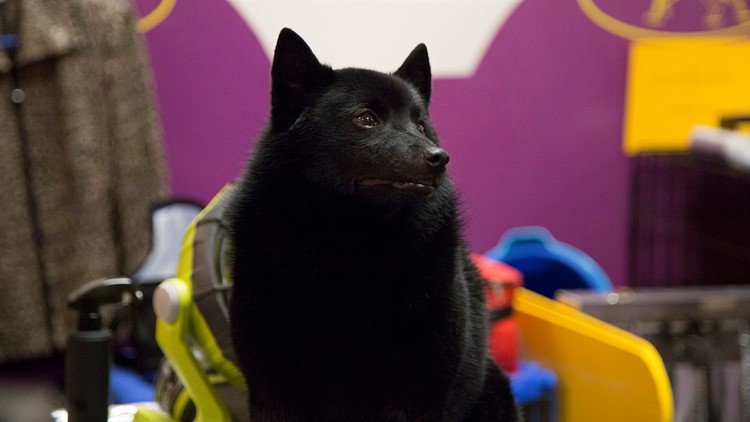 Westminster Dog Show Colton the Schipperke