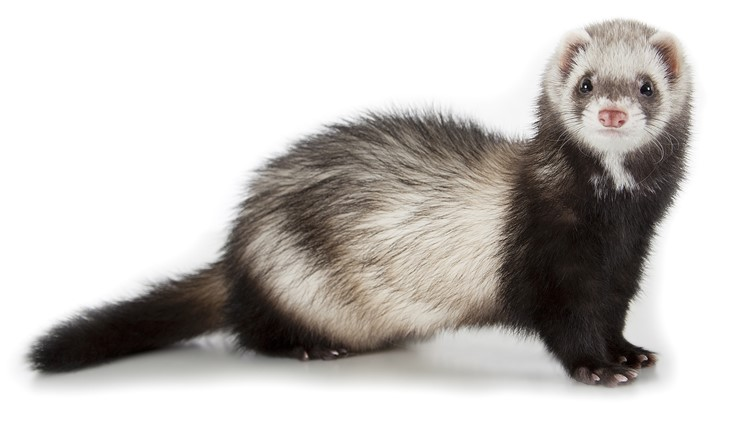 Ferret tests positive for COVID-19; 1st case in US