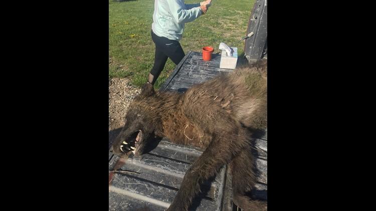 636627587841708143-Wolf-like-creature.jpg