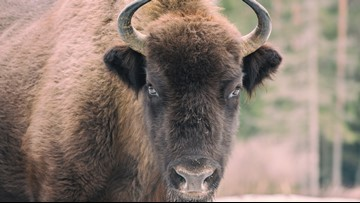 Girl tossed in air after bison charges Yellowstone tourists