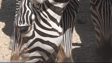 Photographer captures rare spotted zebra foal in Kenya