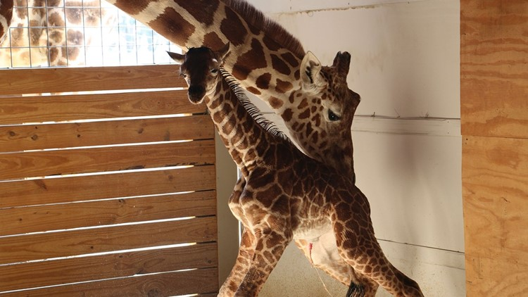 April the giraffe dies just 5 months after calf passes away at East Texas zoo