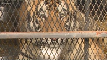 Woman charged after tiger found in southeast Houston home