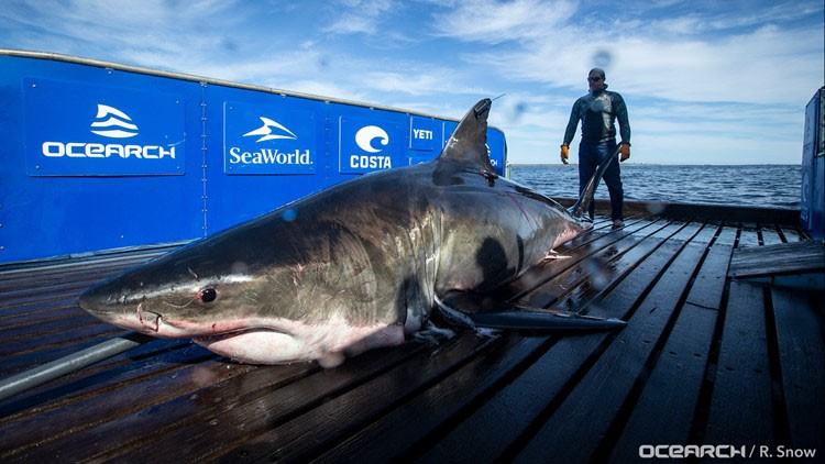 Great white shark tracked south of New Orleans