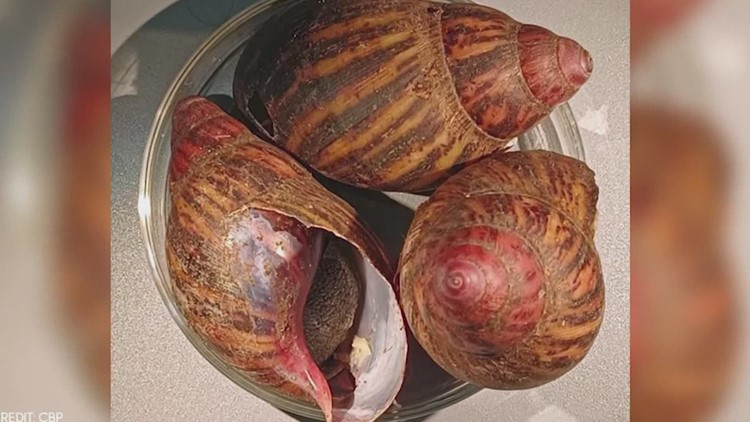 15 giant snails capable of causing rare forms of meningitis seized at Texas airport