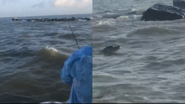 Video: Galveston fisherman spots large gator swimming near North Jetty