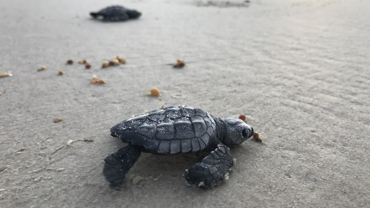 Sea turtle hatchling releases scheduled for this weekend