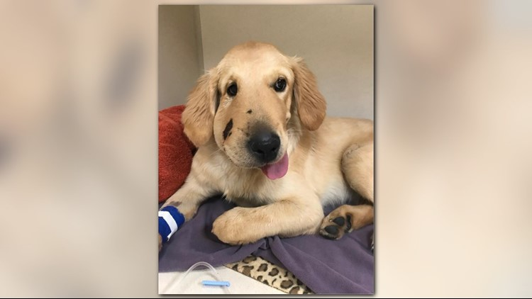 Heroic puppy recovering after jumping into harm's way to protect owner from rattlesnake