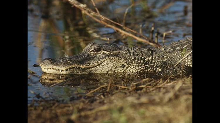 A man was frog gigging in Cherokee County when he saw a gator and tried to catch it.