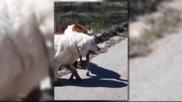 Dog, goat spotted running loose in Henderson reunited with their owner