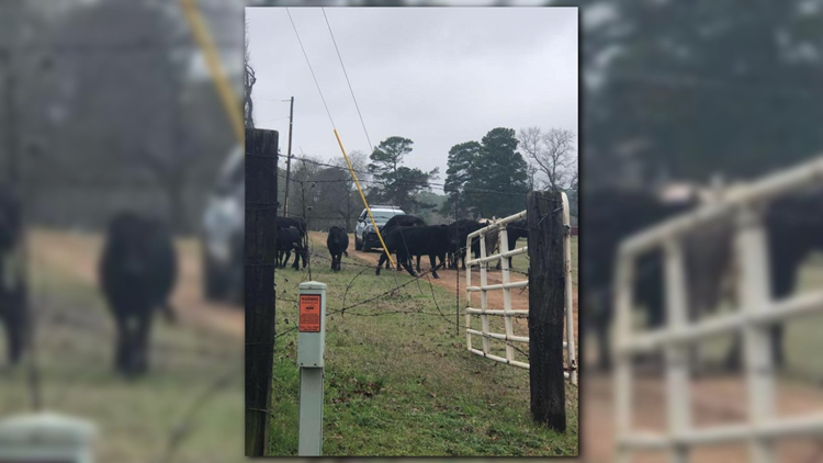 MOOOVE OVER: Marshall police corral more than 12 cows in