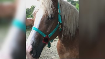 Rescued Camp County horses recovering at undisclosed location