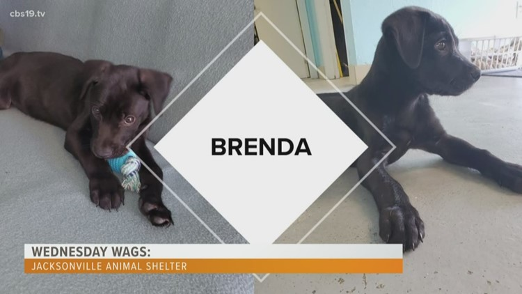 WEDNESDAY WAGS: Jacksonville Animal Shelter introduces us to Brenda