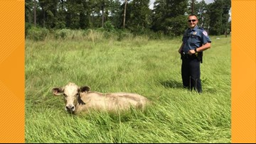 MOOVE OVER: Cows on the loose in Lufkin