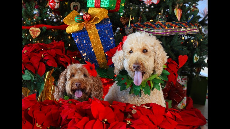 VERIFY: Yes, poinsettias are mildly toxic to pets