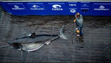 Researchers say 13-foot shark bitten by even bigger shark