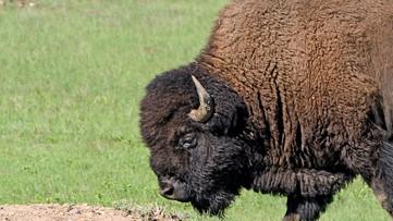 Where the buffalo roam: Bison loose in Georgia woods
